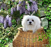 Snowdrop the Maltese - Hide & Seek by Morag Bates