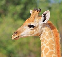 Giraffe Baby - Profile of new Life by LivingWild