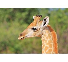 Giraffe Baby - Profile of new Life Photographic Print