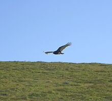 Turkey vulture by Chris Clarke