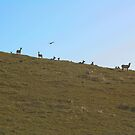 Tule Elk by Chris Clarke