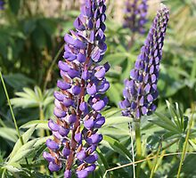 Lupines by Chris Clarke