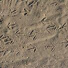 Quail tracks by Chris Clarke