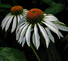 two white coneflowers by mimbravastudio