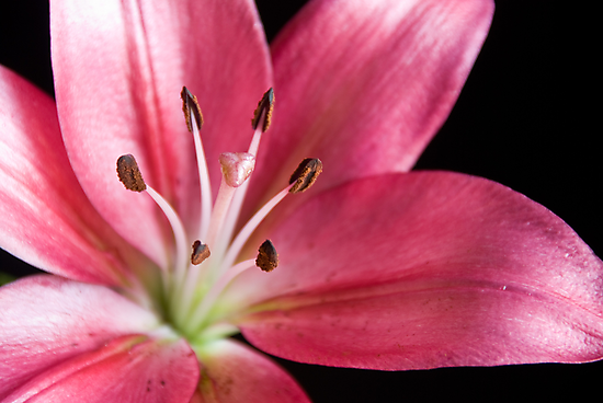 Lily (Pink) by prbimages