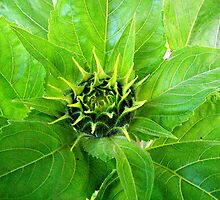 Budding Sunflower by buddykfa