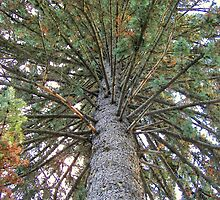 Blue Spruce by buddykfa