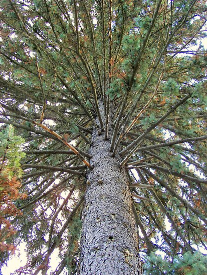 Blue Spruce by buddykfa