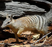 Numbat by Stewart Macdonald