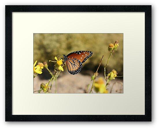 Queen Butterfly by Chris Clarke