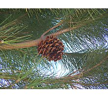 A Lonely Pine Cone Photographic Print
