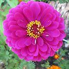 Perfect Purple Zinnia Garden Flower by dww25921