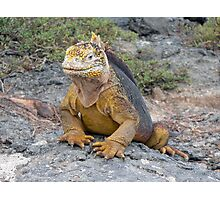 Galapagos Land Iguana Photographic Print