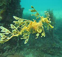 Leafy Sea Dragon by Matt Gibbs