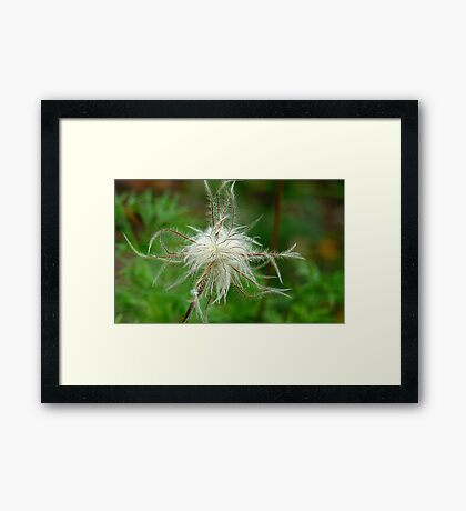Dancing Like A Feathers In The Wind! -Feather type flower - Gore Gardens NZ Framed Print