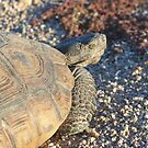 Tortoise by Chris Clarke