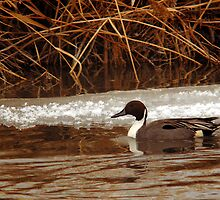 Northern Pintail - Reeds by Ryan Houston