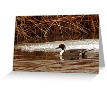 Northern Pintail - Reeds Greeting Card