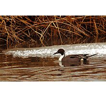 Northern Pintail - Reeds Photographic Print