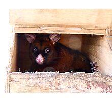 Close The Door!! I Don't Enjoy Sunlight.. Possum -NZ Photographic Print