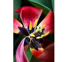 Anatomy of a Tulip - Red Petals, fine art garden photography Photographic Print