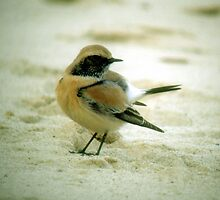 Dessert Wheatear by Monster