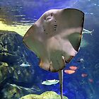 Happy Faced Stingray by vette