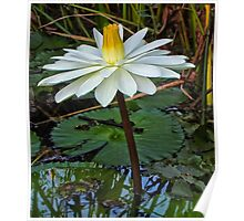 early morning water lily- Everglades Poster