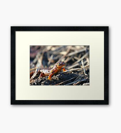 California Newts 4 Framed Print