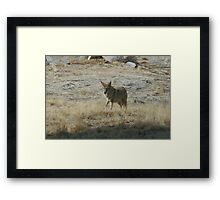 Coyote 2 Framed Print