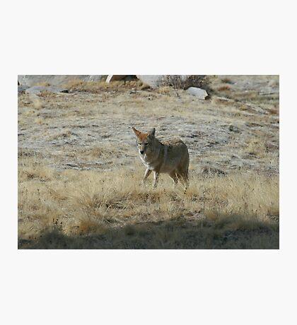 Coyote 2 Photographic Print