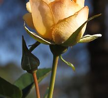 A Light Peach Colored, Crepe Textured Rose  (1430118783VA) by photroen