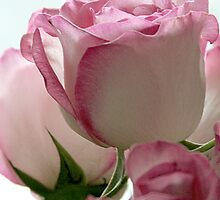 Pink and White Roses by Kimberly Johnson