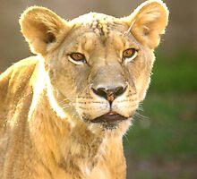 Lioness by Lisa G. Putman