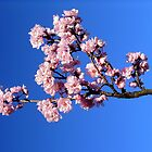 Pink Petals on Blue by WaWa  by Johnah