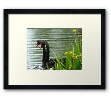 Two Heads Are Better Than One - Swans - NZ Framed Print