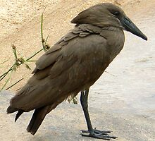 Hamerkop At The Water Hole  (I) by AARDVARK