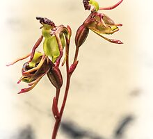 Small Duck Orchid by Paul Amyes