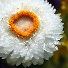 White Flower by Kimberly Johnson