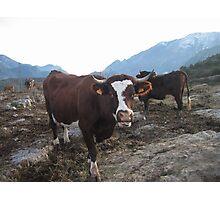 Happy cows ! Photographic Print