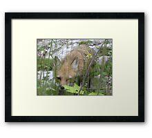 fox stalker Framed Print