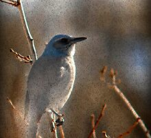 Scrub Jay  by Ryan Houston