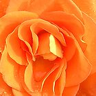 Orange Rose by Kimberly Johnson