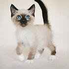 Snowshoe Kitten by AndreaBorden