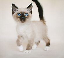 Snowshoe Kitten by AndreaBorden