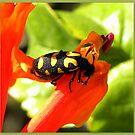 Bean Beetle  ~  Kewertjie ~ Mylabris Oculatus by Pieta Pieterse