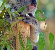 Koala eating a gum leaf by simonwoolley