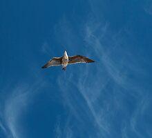 Seagull flying overhead by SammyPhoto
