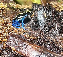 Poison Dart Frog by Rachael Taylor