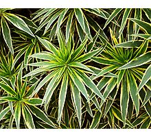Spider plant botanical photography Photographic Print